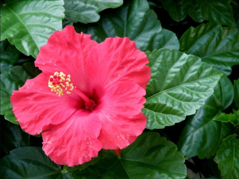 Китайская роза Гибискус сорта и виды