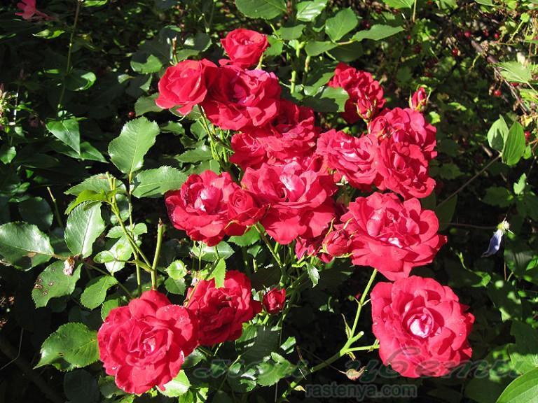 вейбул и нина розы описание фото