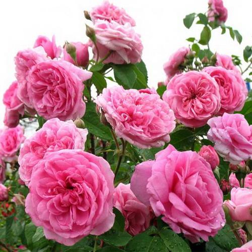 фото с сайта: rozu.com.ua