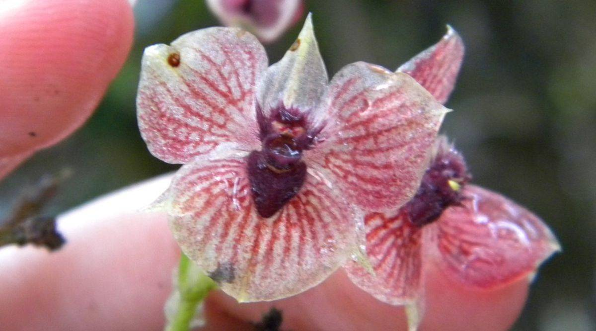 Demon_Orchid_01-1200x666