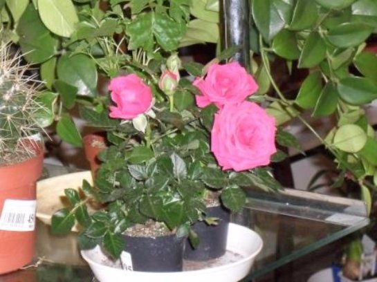 Роза комнатная уход