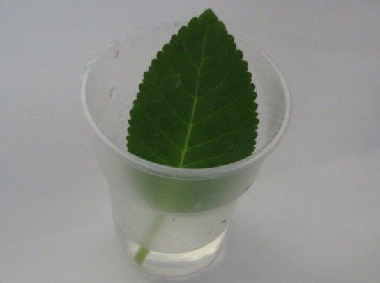 Размножение фиалок листом