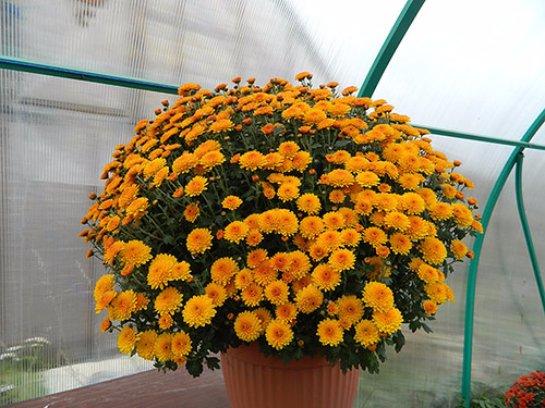 Фото с сайта: pelargonium-club.ru