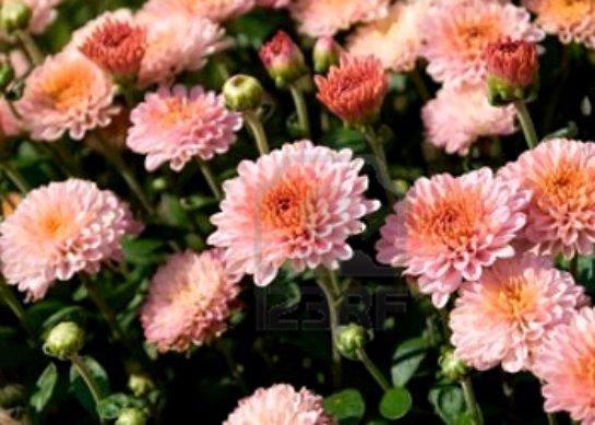 Хризантема кустовая фото