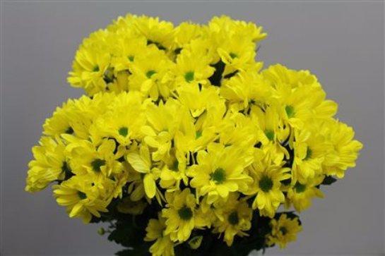 Хризантемы Селебрейт. Фото с сайта: Bestfleur.ru