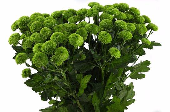 Зеленая хризантема. Фото с сайта: Vidumki.ru