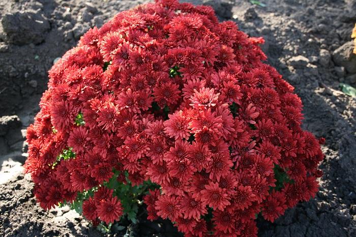Фото с сайта: myhome-flowers.ru