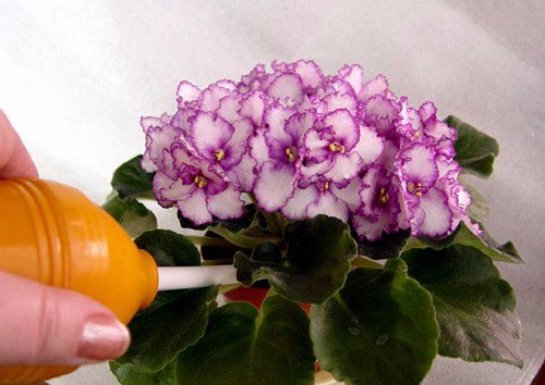Цветы фиалки уход за фиалками в домашних условиях 96
