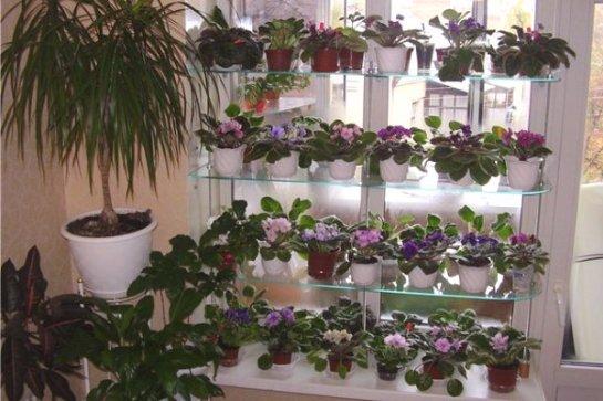 фиалку можно вырастить из семян в домашних условиях
