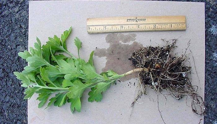 как размножить шаровидную хризантему