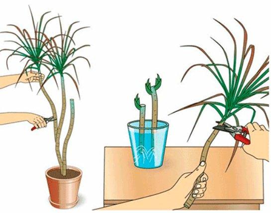 Драцена размножение в домашних условиях черенками