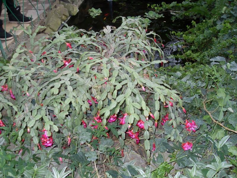 Декабрист: родина растения, страна происхождения комнатного цветка
