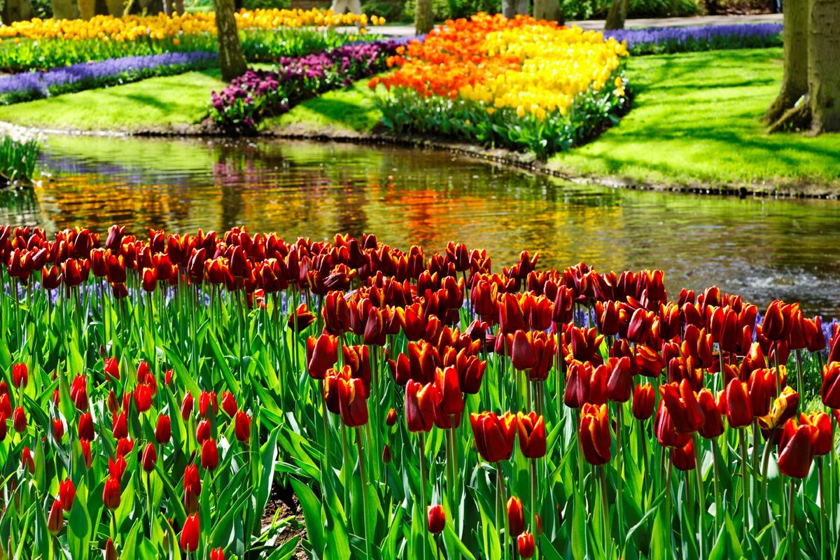 Посадка тюльпанов осенью в Подмосковье: время, сроки, правила 59
