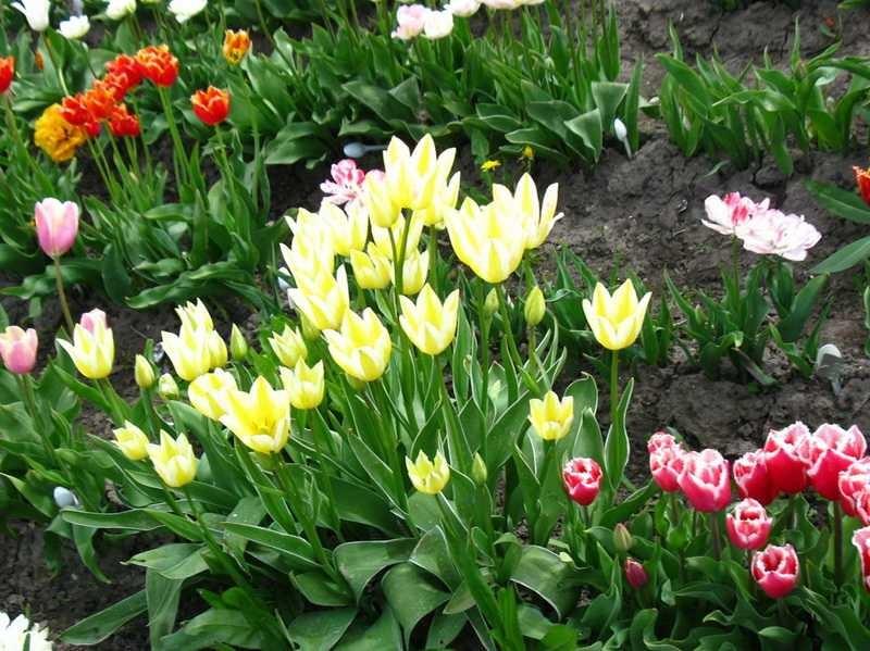 Фото с сайта: тюльпаны-нарциссы.рф