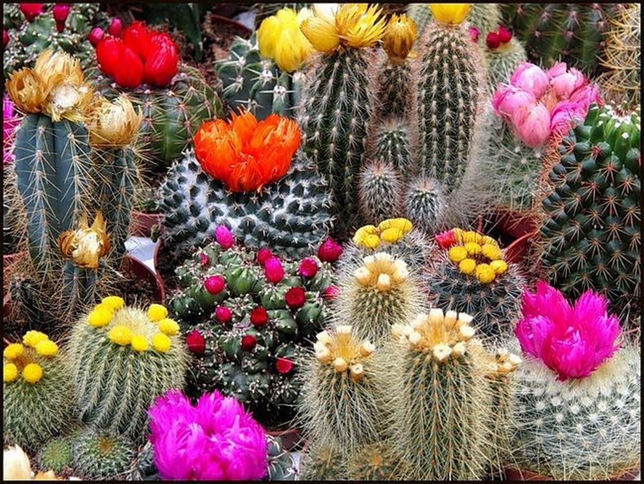 Как заставить кактус цвести в домашних условиях, что делать, если не цветет?
