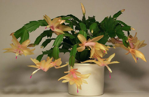 Schlumbergera Golden Cream