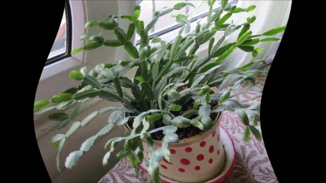 Размножение в домашних условиях цветка декабрист 981
