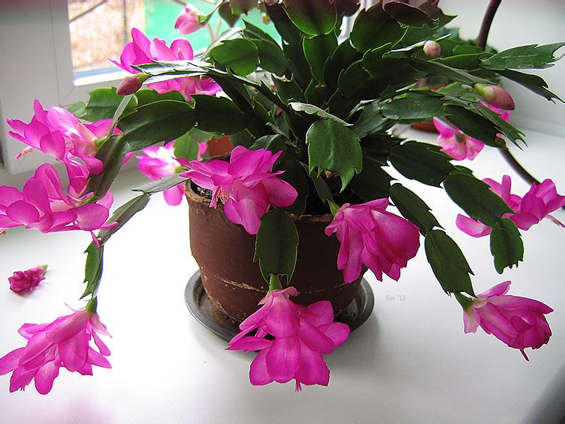 Как размножить цветок декабрист в домашних условиях