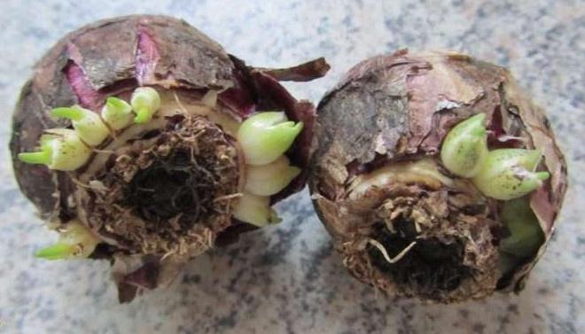 Выращивание тюльпанов в домашних условиях: как вырастить цветы дома в теплице и грунте?