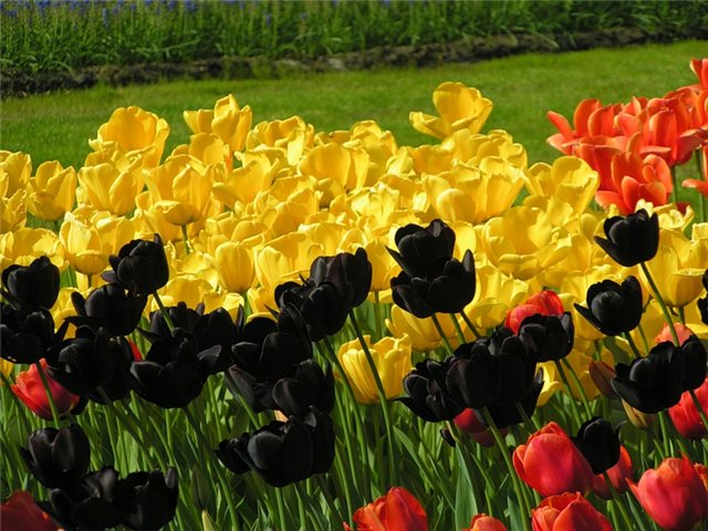 насіння тюльпанів
