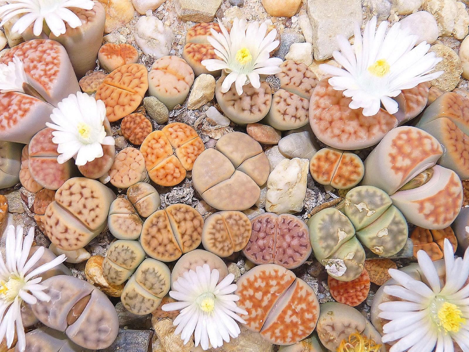 Живые камни: литопсы в скромном горшочке 90